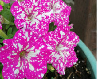 Picture of Petunia Pink Sky