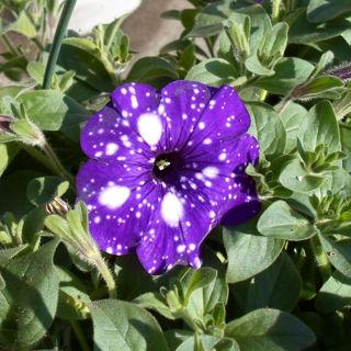 Picture of Petunia Surprise Sparkle Purple