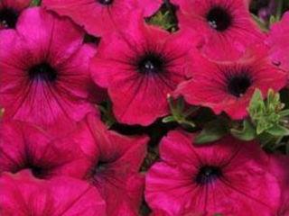 Picture of Petunia Wave Purple
