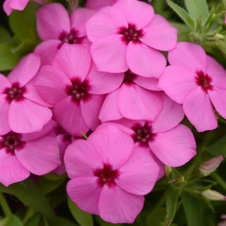 Picture of Phlox Gisele Pink