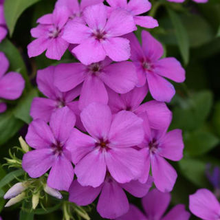 Picture of Phlox Gisele Violet