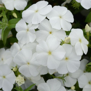 Picture of Phlox Gisele White