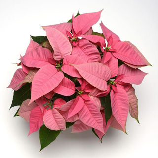 Picture of Poinsettia Christmas Joy Pink