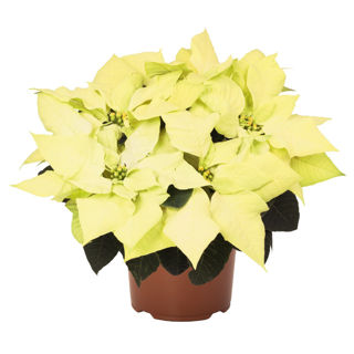 Picture of Poinsettia Envy Green