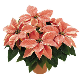 Picture of Poinsettia Marblestar