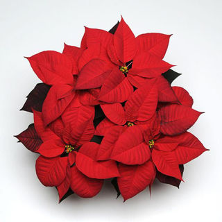 Picture of Poinsettia Red