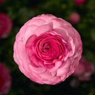 Picture of Ranunculus Mache Pink