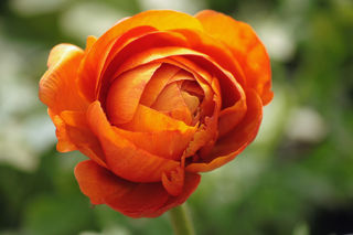Picture of Ranunculus Mache Orange