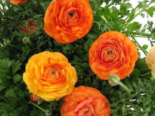 Picture of Ranunculus Mache Orange
