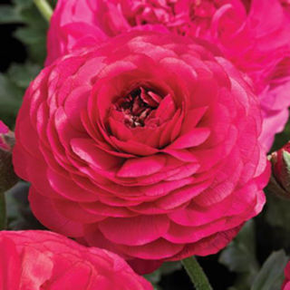 Picture of Ranunculus Mache Rose