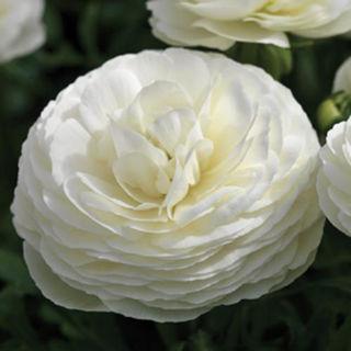 Picture of Ranunculus Mache White