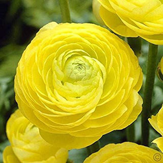 Picture of Ranunculus Mache Yellow