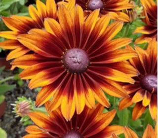 Picture of Rudbeckia SmileyZ Giggling