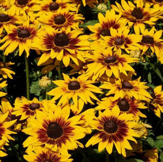 Picture of Rudbeckia SmileyZ Kissing