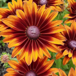 Picture of Rudbeckia SmileyZ Laughing