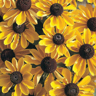 Picture of Rudbeckia Toto Gold