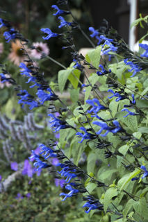 Picture of Salvia Black & Blue