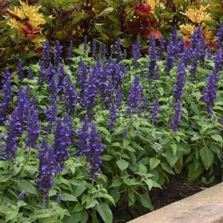 Picture of Salvia Mysty