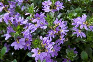 Picture of Scaevola Scampi Blue