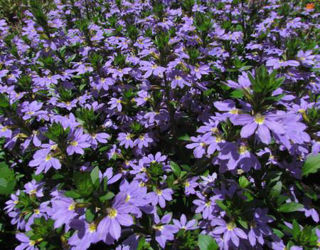 Picture of Scaevola Scampi Blue