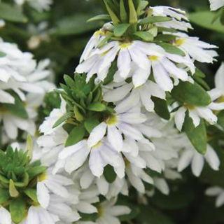 Picture of Scaevola Scampi White