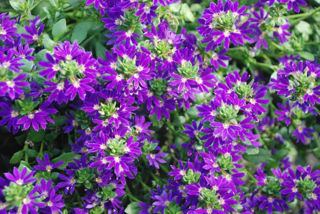 Picture of Scaevola Surdiva Blue/Violet