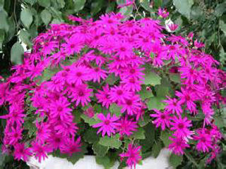 Picture of Senetti Magenta