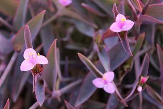 Picture of Setcreasa Purple Heart