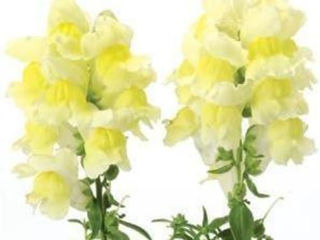 Picture of Snapdragon Snapshot Yellow