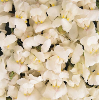 Picture of Snapdragon Solstice White