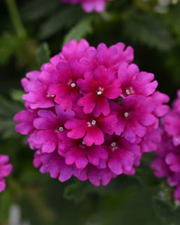Picture of Verbena Cadet Purple