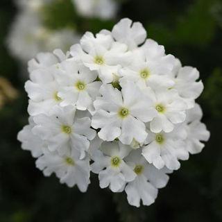 Picture of Verbena Cadet White