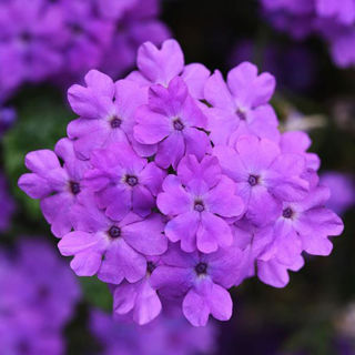 Picture of Verbena Firehouse Grape