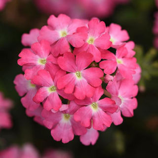 Picture of Verbena Firehouse Pink