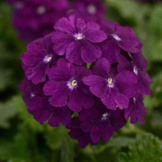 Picture of Verbena Firehouse Purple