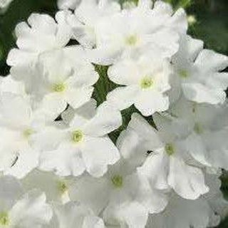 Picture of Verbena Firehouse White