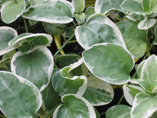 Picture of Vinca Vine Variegated Green/White