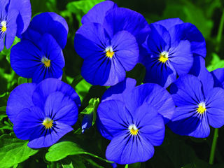 Picture of Viola Penny Blue