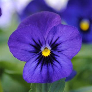 Picture of Viola Sorbet Blue Blotch