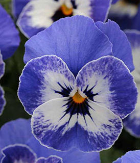 Picture of Viola Sorbet Delft Blue