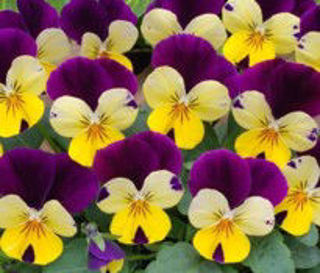 Picture of Viola Sorbet XP Lemon Jump Up