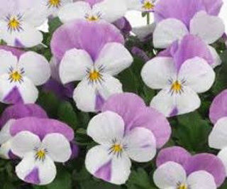 Picture of Viola Sorbet XP Pink Wing