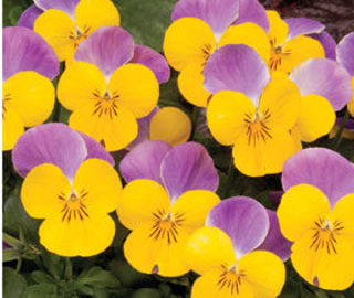 Picture of Viola Sorbet XP Yellow Pink Jump Up