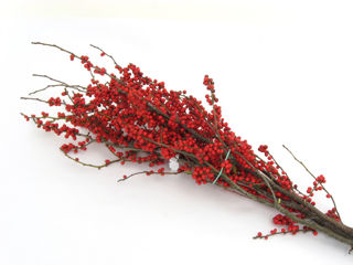 """Picture of Winterberry Bunch 20""""-24"""" w/ No Foliage"""