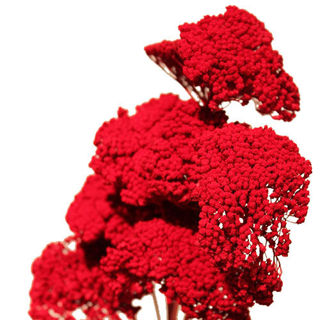 Picture of Yarrow Bright Red