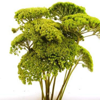 Picture of Yarrow Lime Green