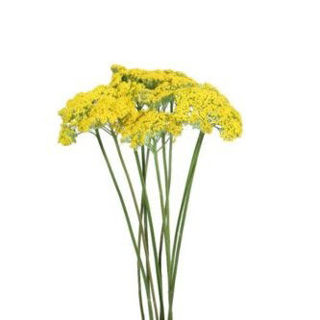 Picture of Yarrow Robust Yellow