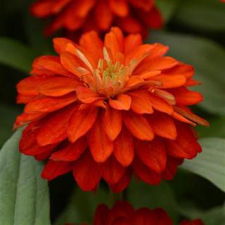 Picture of Zinnia Zahara Double Bright Orange