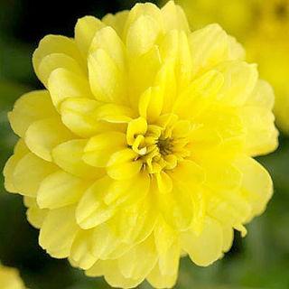 Picture of Zinnia Zahara Double Yellow