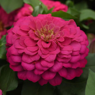 Picture of Zinnia Zesty Pink